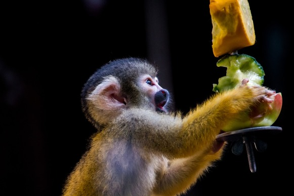 Spider monkey eating fruit